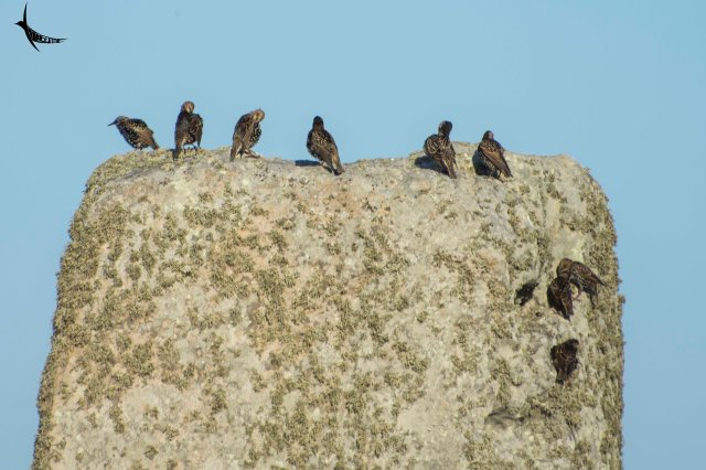 Common Starlings, the present residents of Stonehenge