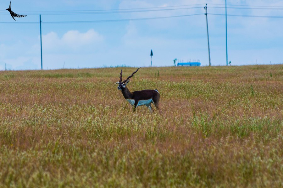 A male Blackbuck in the grassland