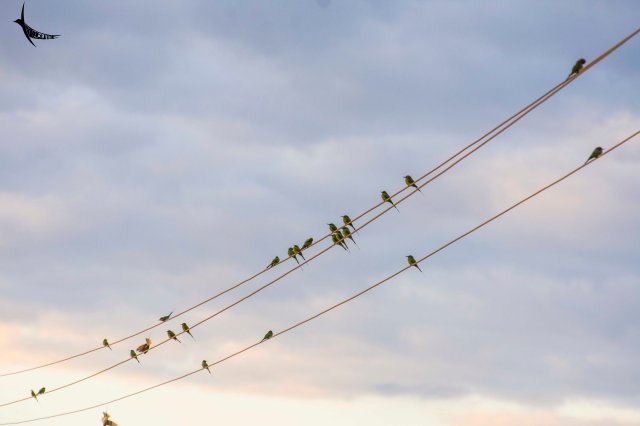 Group of Green bee-eaters