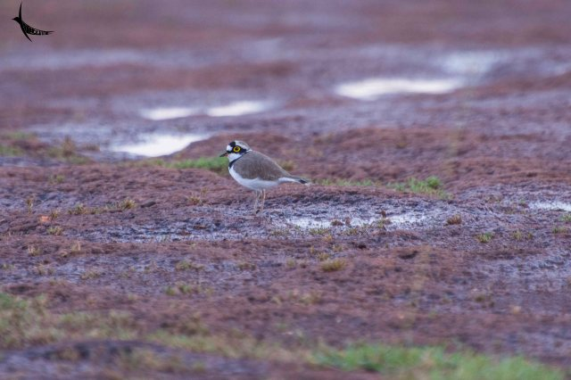 Little-ringed Plover in the plateau