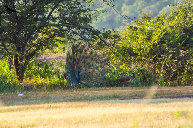 A peafowl couple in courtship