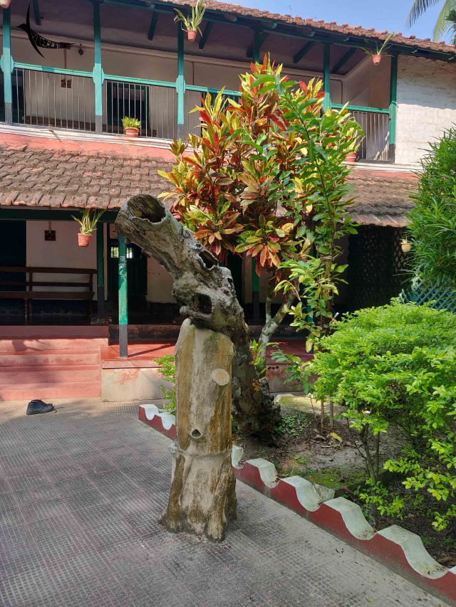 The trunk of guava tree that was planted by the author