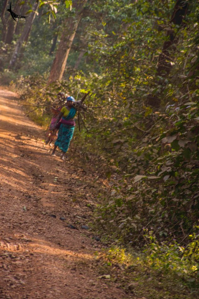 Tribal women carrying firewood from the forest