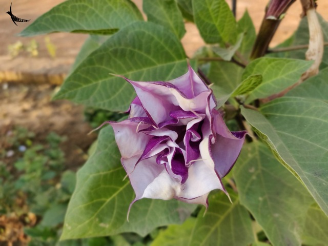 A bright Datura in the garden of Kevalya Dham