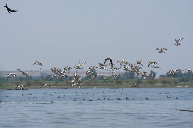 A Black-winged Stilt along with the group of Black-winged Godwits