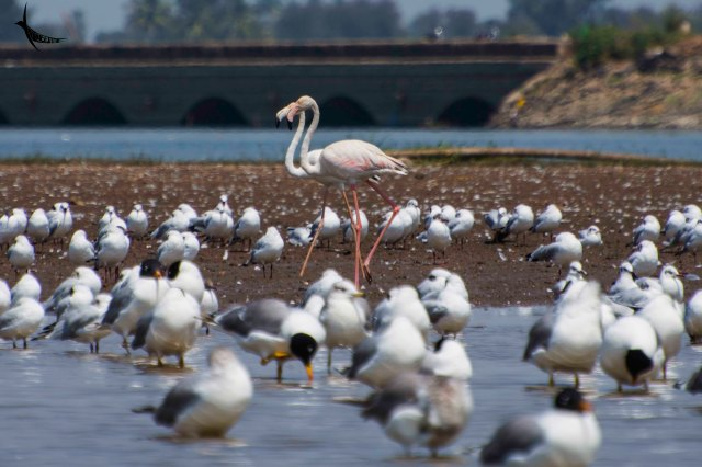 A pair of Flamingoes with Black-headed Gull and Pallas's Gull in the front