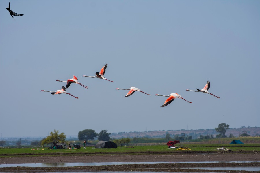 Greater Flamingoes in flight