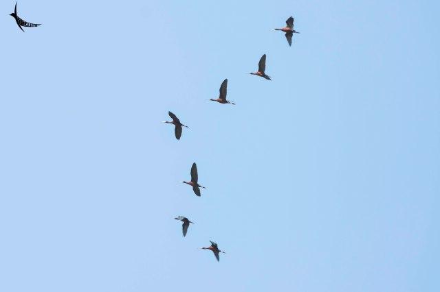 Indian Black Ibis