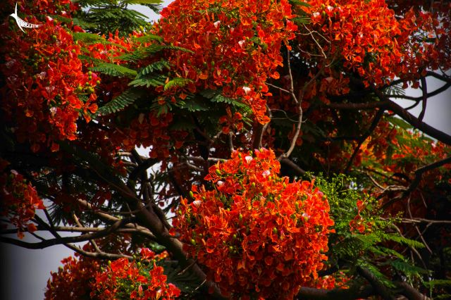 Gulmohar in full bloom outside my window