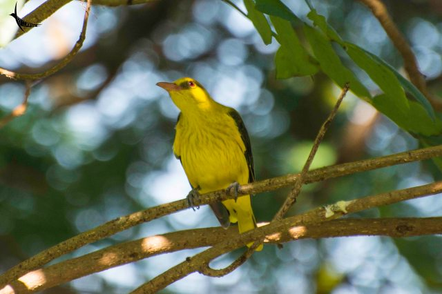 Golden oriole female