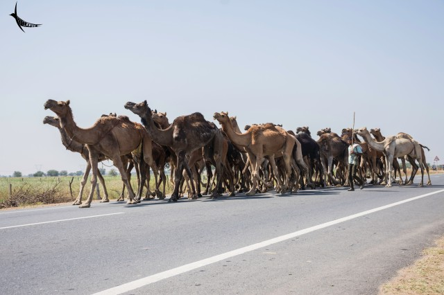 A herd of Camel marching ahead