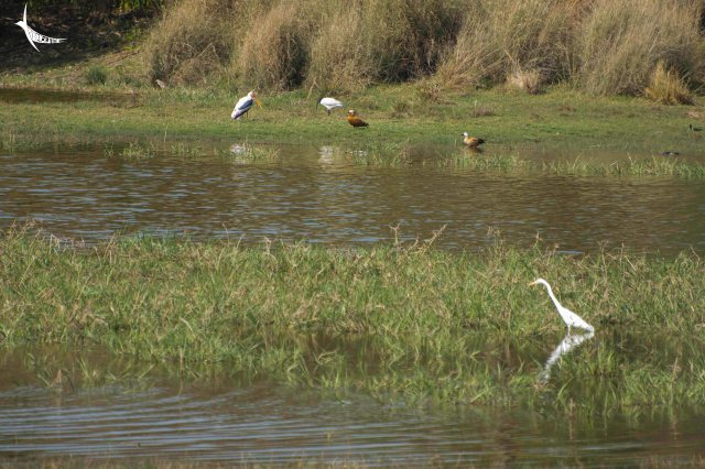Painted stork, Black-headed Ibis, Ruddy shelduck or Brahminy duck and Great Egret