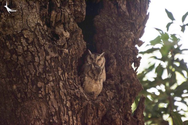 A pair of scoop owl in the forest