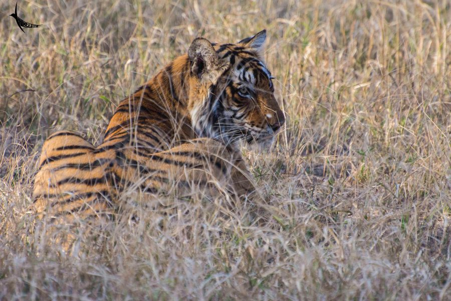 The tigress of zone-3 in Ranthambore National Park