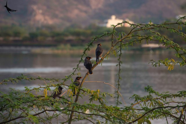 Bank Mynas in Jal Mahal