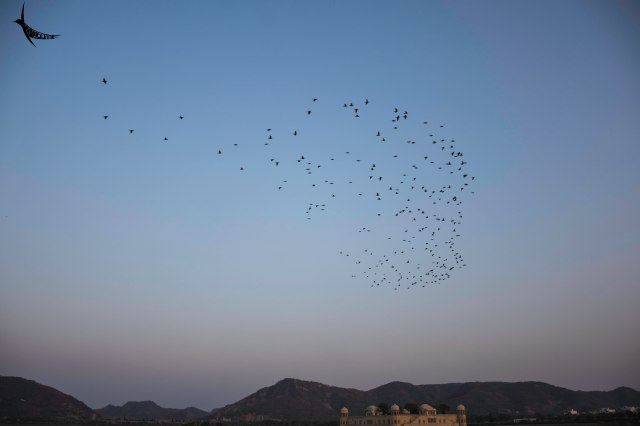 Rosy Starlings swarming over Jal Mahal