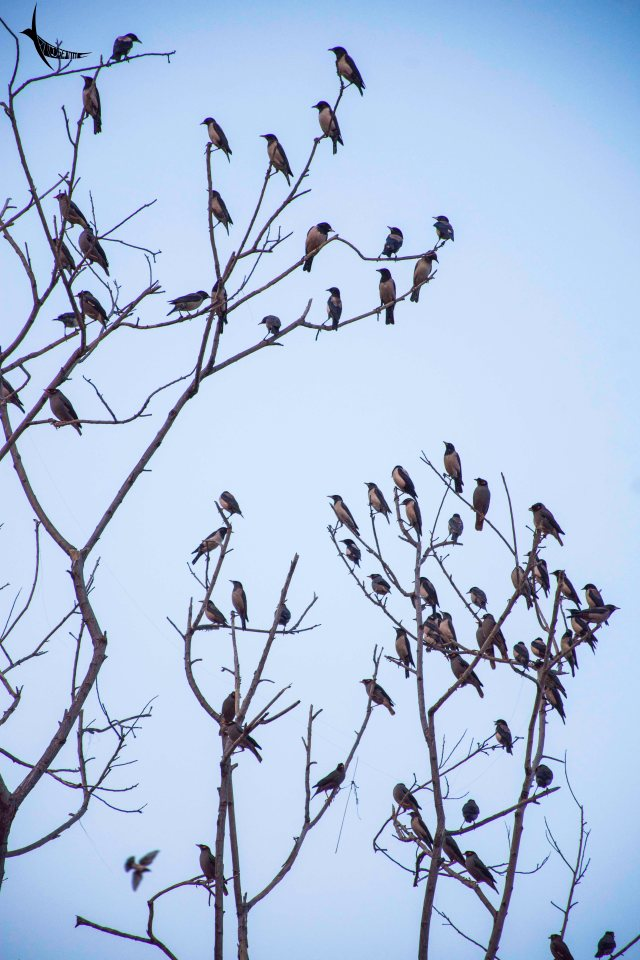Rosy Starlings on a tree in Man Sagar Lake