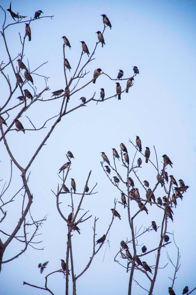 Rosy Starlings on a tree in Man Sagar Lake